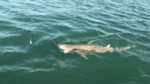 Westernport Sharks